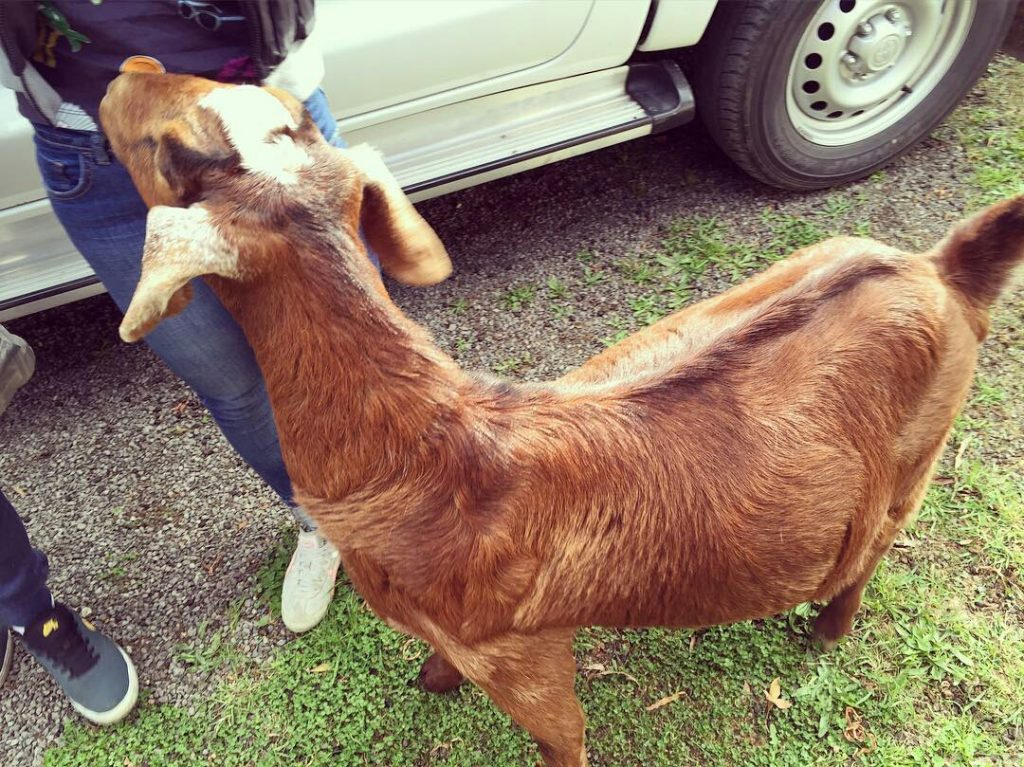 """Some airbnb's come with some """"interesting"""" neighbours, like this goat who would attempt to headbut you as soon as you turned your back..."""